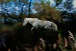 This magnificent Camargue stallion picks its way through the marsh grass near the Rhone River. I especially loved the dappled colors of green blue and gray that were enhanced  as I panned my camera to follow his movements.