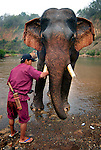 A mahout giving his Asian elephant (elephas maximus)a final clean before finishing it's morning bath at Pak Lai, Laos.