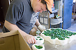 Robert Moore works on a glass inlay for a wooden piece in the first floor of Siegfried Hall on 3/2/07. He's using scraps of green glass because it cannot be recycled.