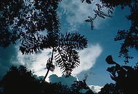 Socratea exorrhiza palm silhouetted against dark sky and white cloud in tropical rain forest Venezuela