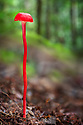 Red toadstool growing in tropical rainforest, Maliau Basin, Sabah's 'Lost World', Borneo.