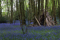 A den constructed of old logs on a carpet of native bluebells in an English beech wood