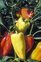 Peppers Gypsy heirloom vegetables