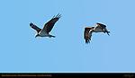 Osprey Flight at Sunrise, Ding Darling Wildlife Refuge, Sanibel Island, Florida