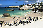 African penguin colony, Spheniscus demersus, Boulders Beach, Table Mountain National Park, Cape Town, South Africa