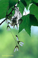 MP08-008b  Red Maple - seeds blowing from tree, seed dispersal - Acer rubrum