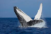 Humpback Whale, breaching, Megaptera novaeangliae, Hawaii, Pacific Ocean.