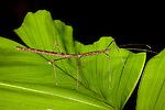 Stick insect from the Tetepare Island rainforest.