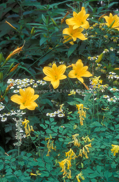 Corydalis lutea, Hemerocallis Stella D'Oro daylilies in garden combination, Tanacetum parthenium syn. Chrysanthemum parthenium aka feverfew for yellow and white planting color theme, perennials, herbs