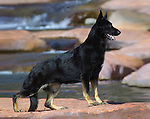 Black German Shepherd Shopping cart has 3 Tabs:<br /> <br /> 1) Rights-Managed downloads for Commercial Use<br /> <br /> 2) Print sizes from wallet to 20x30<br /> <br /> 3) Merchandise items like T-shirts and refrigerator magnets
