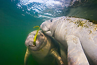 Florida manatee mother and calf, feeding on seagrass, Trichechus manatus latirostris, endangered, a subspecies of the West Indian manatee, Kings Bay, Crystal River, Florida
