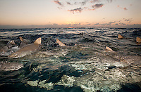 Lemon Sharks Swarm the Surface at Sunset