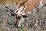 Pronghorn Antelope in Montana