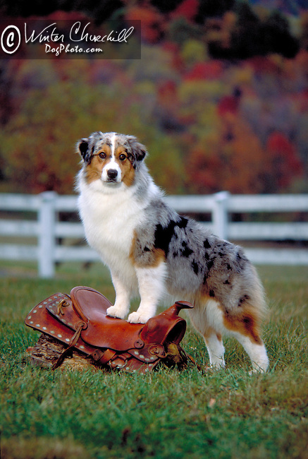 Australian Shepherd Shopping cart has 3 Tabs:<br /> <br /> 1) Rights-Managed downloads for Commercial Use<br /> <br /> 2) Print sizes from wallet to 20x30<br /> <br /> 3) Merchandise items like T-shirts and refrigerator magnets