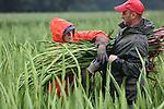 Foto: VidiPhoto<br /> <br /> LANGENBOOM - Ondanks de regen wordt bij kweker Theo Theunissen door Poolse werknemers maandag gestart met het oogsten van de eerste gladiolen voor de Vierdaagse. Dat gebeurt op een perceel in het Brabantse Langenboom, onder de rook van Nijmegen. De start van de gladiolenoogst is dit jaar tien dagen later dan andere jaren vanwege het koude voorjaar. Omdat ook de start van de Vierdaagse dit jaar later valt (derde dinsdag van juli) geeft dat geen problemen bij het uitleveren. Het grootste wandelevenement ter wereld start volgende week dinsdag. Alleen al voor de Vierdaagse levert Theunissen 300.000 stengels van de bekende snijbloem waar tijdens de wandeltocht zelfs een straat naar genoemd wordt: Via Gladiola. Tijdens de Vierdaagse van Nijmegen worden de meeste gladiolen omgezet. In totaal oogst de Heumense bloemenkweker dit jaar 4 miljoen gladiolenstengels.