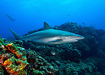 Bahamas; Sharks and dolphins; Caribbean reef shark (Carcharhinus perezi, often misspelled perezii) is a species of requiem shark, family Carcharhinidae.