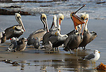 brown pelicans and gulls at Gaviota SP