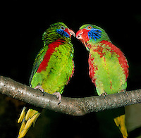 Two Male Red-flanked Lorikeets (Charmosyna placentis). Captivity