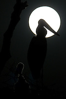Silhouette of Jabiru Stork (Jabiru mycteria) against full moon, Pantanal, Brazil