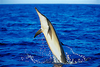 long-snouted spinner dolphin leaping, Stenella longirostris, Kona, Big Island, Hawaii, Pacific Ocean