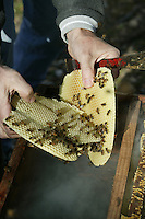 A beekeeper opens the hive to gather cells built by the bees outside the frame.