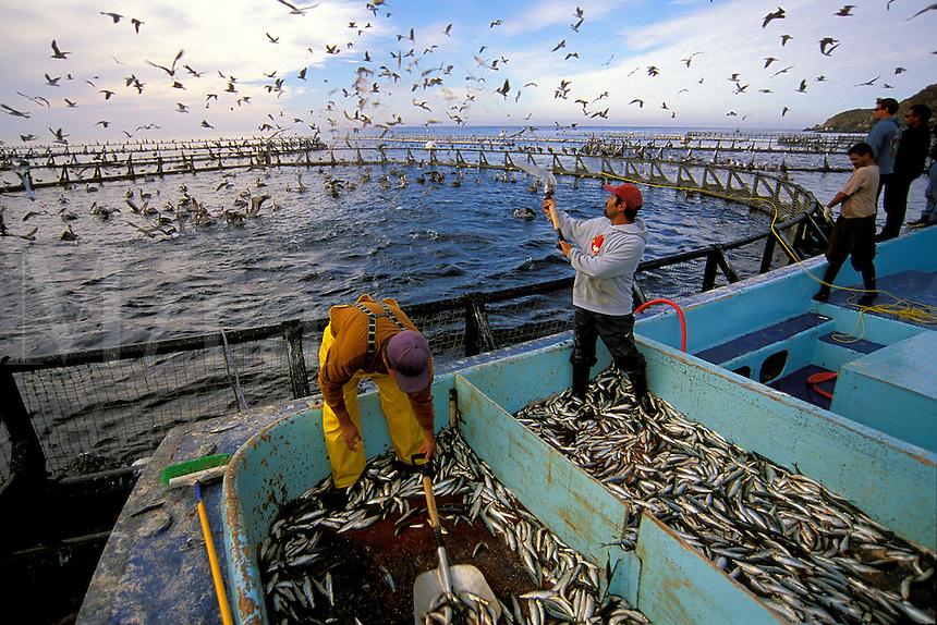 Northern Bluefin tuna aquaculture, Thunnus thynnus, Mexico, Pacific Ocean
