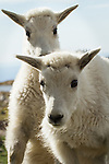 Baby Mountain Goat kids