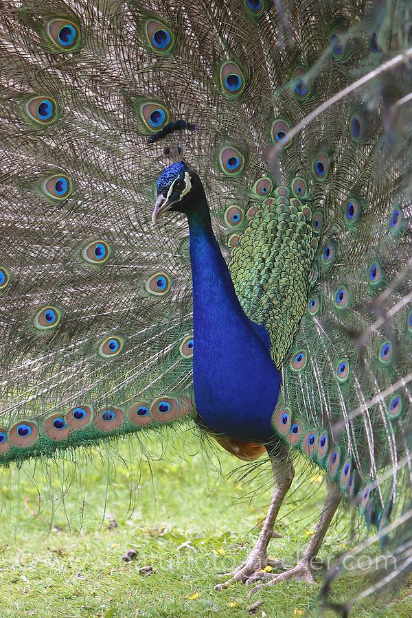 Pfau, Hahn, Männchen schlägt ein Rad, Balzverhalten, Balzzeit, balzen, Balz, balzend, Pavo cristatus, common peafowl, peacock, Indian peafowl
