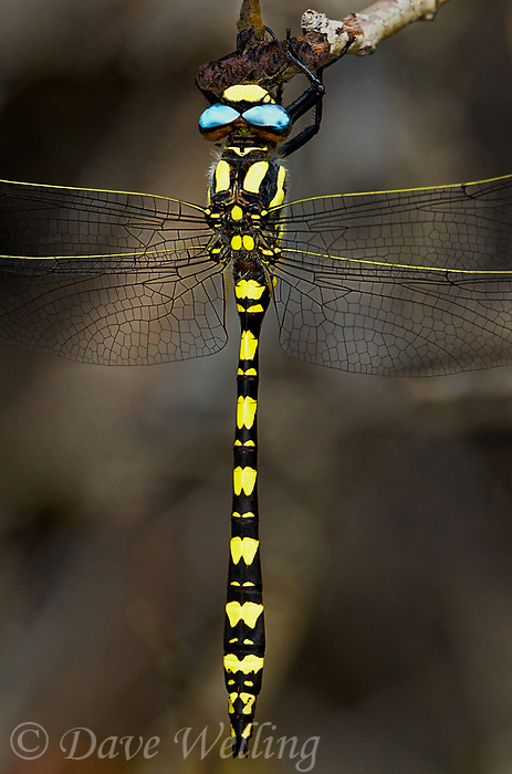 389970005v a wild male pacific spiketail cordulegaster dorsalis great basin subspecies hangs from a small branch in sagebrush covered