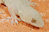 Yellow-bellied Gecko  (Hemidactylus flaviviridis), Socotra, Yemen.