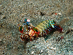 "A peacock mantis shrimp out on the bottom in the Lembeh Strait pauses to peer at the photographer.  Mantis shrimp are stomatopods, a type of crustacean and not actually related to either shrimp or mantoids (insects) but are named for their resemblance to both.  Mantis shrimp are curious, active predators that hunt primarily using their excellent vision in the daytime.  They are approachable and not particularly dangerous to divers, but care is still needed:  Mantis shrimp are also called ""thumb splitters"" for their ability to inflict a deep wound if it feels a need to defend itself (easily penetrating a wetsuit or, rarely, a camera housing)."