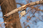An inverted Black-capped Chickadee on a tree branch near Lake Nokomis