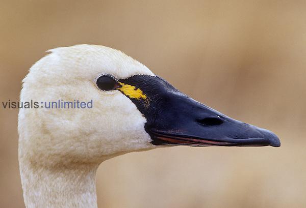 Tundra Swan head (Cygnus columbianus), Alaska, USA.