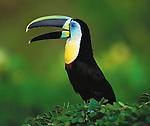 Ctiron-throated toucan, Caribbean Coast, Colombia