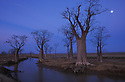 Australia, Kimberley Plateau; Full moon over Boab trees after heavy rain fall