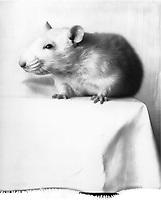 B&W portrait of a white rat.