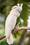 Bali, Indonesia; a Moluccan Cockatoo (Cacatua moluccensis) stands on a tree branch