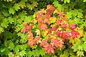 Vine Maple with fall color; Aufderheide Drive, Willamette National Forest, Oregon.