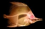 X-ray image of a butterflyfish (orange on black) by Jim Wehtje, specialist in x-ray art and design images.