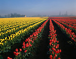 Rows of yellow and red tulips in field sunrise in fog with old barn Mount Vernon Washington State USA