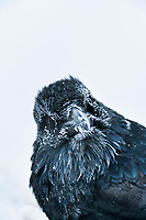 Common Raven with frosted feathers in minus 40 degree temperatures, Fairbanks, Alaska