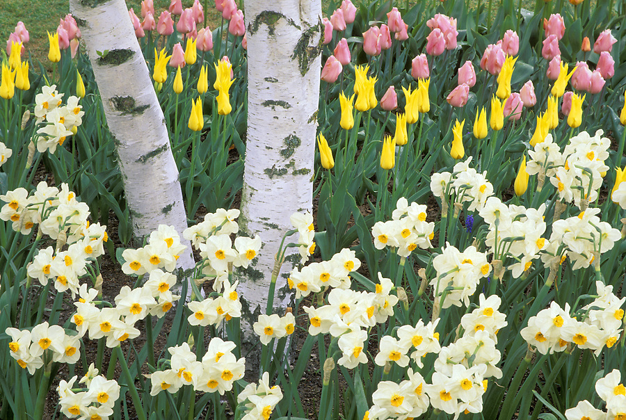 Tulips and daffodils in display gardens, Mount Vernon, Skagit Valley, Washington