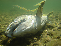 Chinook Salmon (Carcass)<br />