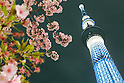 Early cherry blossoms in Tokyo