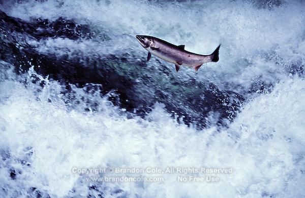 mu15. Coho Salmon (Oncorhynchus kisutch) jumping up rapids on its way to spawn. Washugal River, WA. .Copyright © Brandon Cole, All rights reserved. www.brandoncole.com.email: brandoncole@msn.com.tel: 509-535-3489..4917 N. Boeing Rd..Spokane Valley, WA  99206  USA.