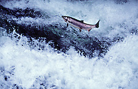 mu15. Coho Salmon (Oncorhynchus kisutch) jumping up rapids on its way to spawn. Washugal River, WA. .Copyright © Brandon Cole, All rights reserved. www.brandoncole.com.email: brandoncole@msn.com.tel: 509-535-3489..4917 N. Boeing Rd..Spokane Valley, WA  99206  USA.