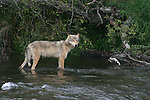 gray wolf fishing
