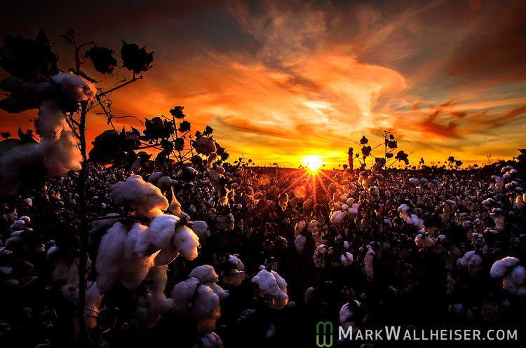 A late season cotton crop waits to be harvested in a field outside Dothan, Alabama.