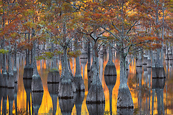 An interesting light display with the calm water reflecting light from the setting sun with a grove of pond cypress falling into shadow.