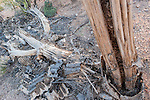 Tucson, Arizona; a dead Saguaro cactus skeleton on the desert floor in early morning sunlight